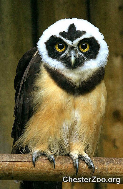 Spectacled Owl Gms Tech Curriculum Development